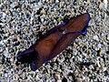 Philinopsis gardineri (Blue fringed sea slug).jpg