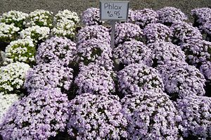 Phlox - P. subulata cultivars growing at a nursery in Cranford, New Jersey.