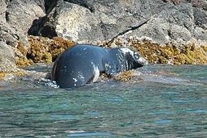 Mediterranean monk seal - On rocky shore at Serifos