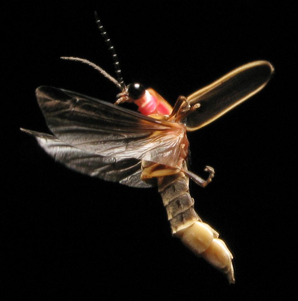 Photinus pyralis, firefly, in flight