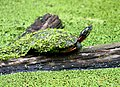 Photo of the Week - Eastern painted turtle (PA) (5809130643).jpg