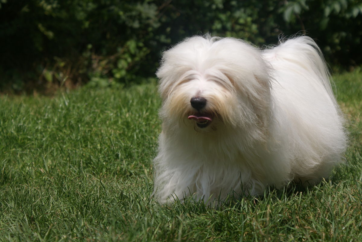 Coton Dog Breed