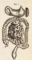Physiology for Young People - 1884 - Stomach and intestines 1.png