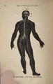 Physiology for Young People - 1884 - The nervous system.png