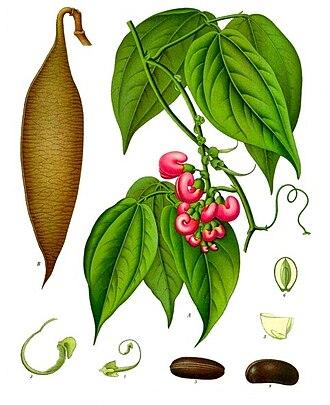 Physostigma venenosum - Image: Physostigma venenosum Köhler–s Medizinal Pflanzen 237