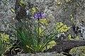 Phyteuma Hemisphaericum - Alpine Flora.jpg