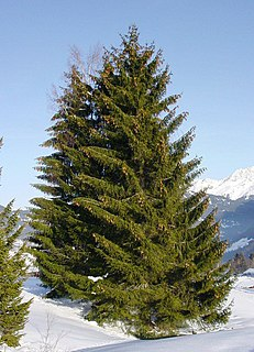 Spruce genus of plants