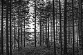 Picea abies forest at Vézoles Lake BW.jpg