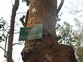 Picher 18 Satchari National Park.jpg