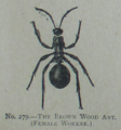 Picture Natural History - No 279 - The Brown Wood Ant.png