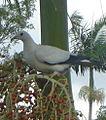 Pied Imperial Pigeon.jpg