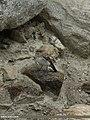 Pied Wheatear (Oenanthe pleschanka) (15895646235).jpg