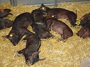 Pigs at the Paris agriculture salon, 2004