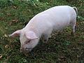 Pig outside.jpg