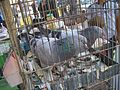 Pigeon in the cage3.JPG