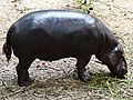 Pigmy Hippopotamus.jpg
