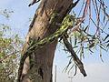 PikiWiki Israel 36594 chameleon.JPG