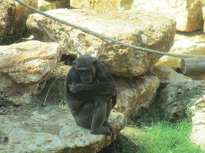 שימפנזה בספארי ברמת גן