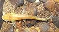 Pimelodella kronei (10.3897-subtbiol.19.8207) Figure 2 (cropped).jpg