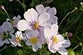 Pink Wind Flowers, Parliament gardens, Melbourne Australia (4617893165).jpg