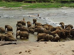 Pinnawala Elephant Orphanage 42.JPG