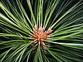 Pinus benthamiana 8052.jpg