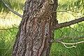 Pinus brutia 03.jpg