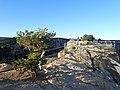 Pinus edulis kz01.jpg