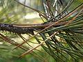 Pinus nigra (1111) 07.JPG