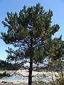 Pinus sp.001 - Islas Cies.JPG