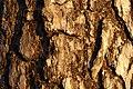 Pinus sylvestris (372192438).jpg