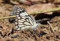 Pioneer Butterflies Mudpuddling Chinnar WLS Kerala (67).jpg