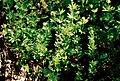 Pirineos, flora 1981 43.jpg