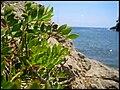 Pistacia lentiscus (728172531).jpg