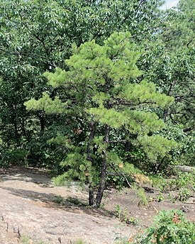 Pitch Pine at Pinnacle Rock 1.jpg