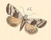 Pl.108-15-Abacena accincta (Felder & Rogenhofer 1874).JPG