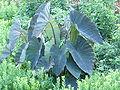 Plant - Penn - August 2008 02.JPG