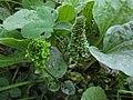 Plantago major (Plantae), Elst (Gld), the Netherlands.jpg