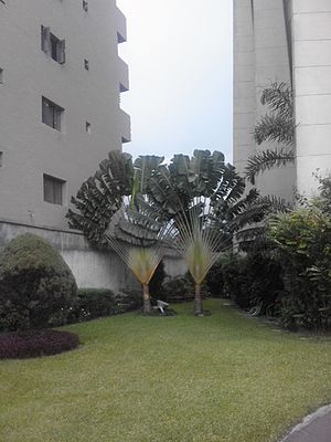 Phototropism - Ravenalas growing between two buildings in Kinshasa, Democratic Republic of Congo. The plane (here perpendicular to the north-south axis) of these two plants is orientated to maximize daylight absorption.