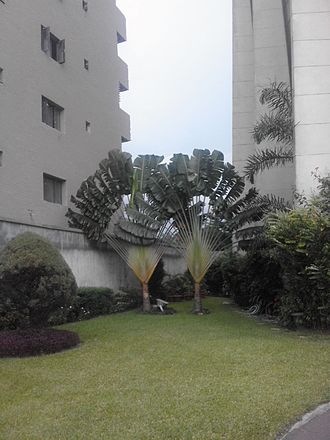 Ravenala - Ravenalas growing between two buildings in Kinshasa,  Democratic Republic of Congo. The plane (here perpendicular to the north-south axis) of these plants is orientated to maximize daylight absorption.