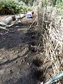 Planting a hazel hedge.jpg