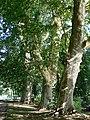 Platany Hlohovec - Plane-trees Hlohovec, Slovakia - panoramio (8).jpg