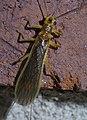 Plecoptera P1420685a.jpg