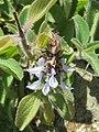 Plectranthus barbatus from Ooty (1).jpg