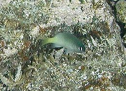 Plectroglyphidodon imparipennis by NPS