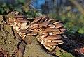 Pleurotus ostreatus, Oyster Mushroom, Enfield, UK.JPG