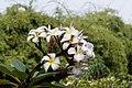 Plumeria rubra 2852.jpg