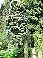 Podocarpus henkelii (Serres de la Madone).jpg