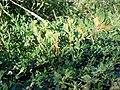 Polygonum achoreum (4985278672).jpg