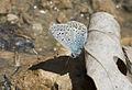 Polyommatus icarus - Çokgözlü mavi 06.jpg